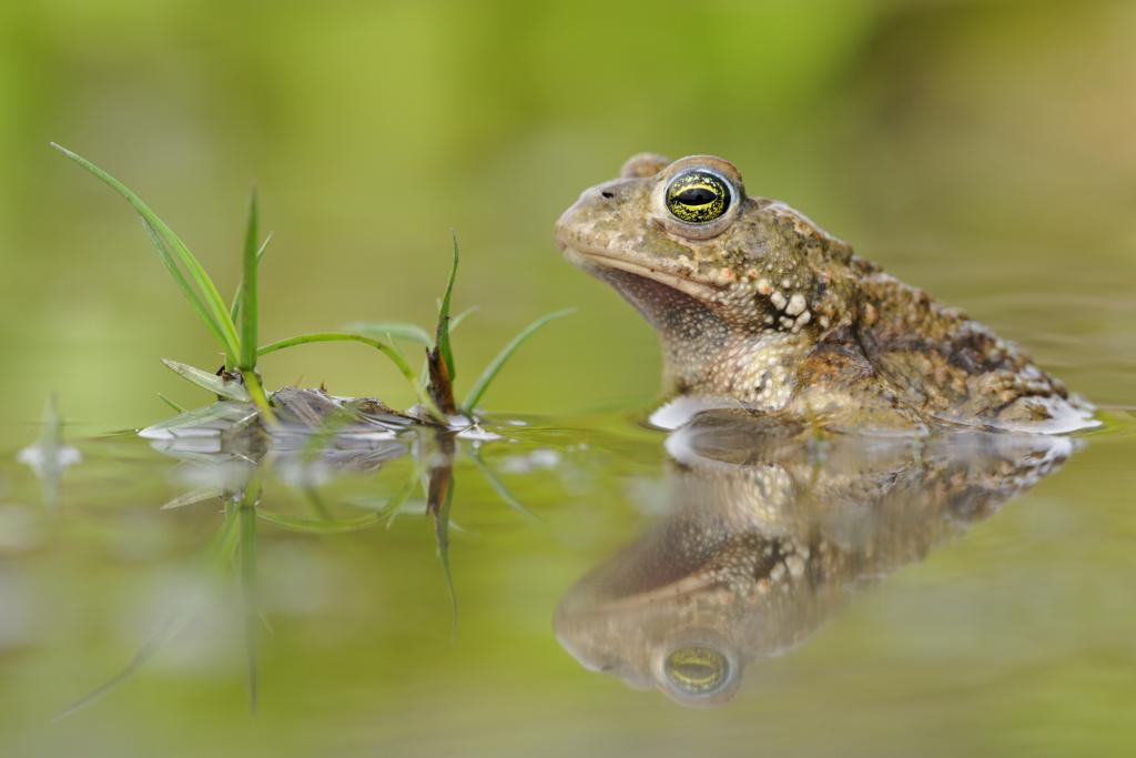 """Foto: Auch einige Krötenarten zählen zu den besonders gefährdeten """"Zielarten"""". Foto: Adobe Stock/Dirk"""